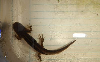 Congratulations! It's a…long-toed salamander!