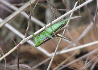 Slender Meadow kaytdid_Conocephalus fasciatus