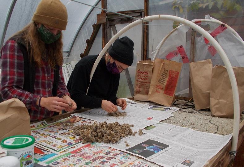 2 people sorting seed
